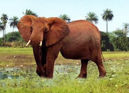 africancowelephantpicture