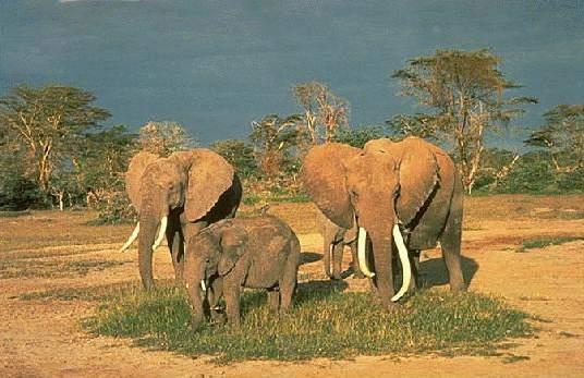 africanelephantspictures