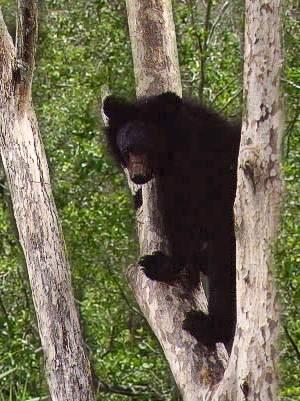 asiaticbearintree
