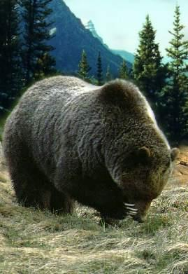 grizzlybearforaging